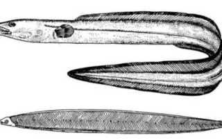 Конгер (морской угорь)