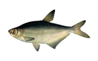 Рыба синец: описание, образ жизни, места обитания, сезонные повадки