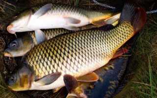 Ловля сазана с лодки и берега, особенности речной рыбалки, монтаж оснасток.