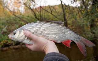 Ловля язя весной – особенности рыбалки и используемые при этом снасти