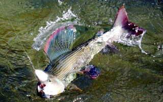 Ловля хариуса весной – подходящие снасти и особенности тактики рыбалки