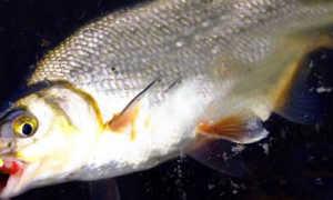 Прикормка для рыбца
