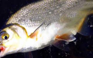 Ловля рыбца: особенности вида и способы ужения