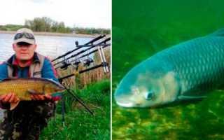 Ловля белого амура: секреты сезонной рыбалки