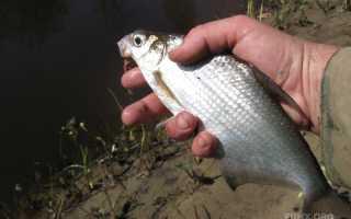 Рыба сопа (белоглазка): описание, питание, где водится. Ловля белоглазки