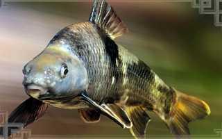 Рыба пескарь внешние данные, особенности жизни, фото