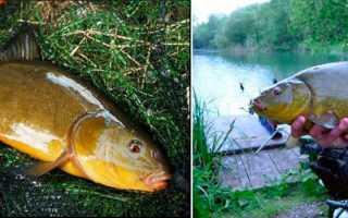 Зимняя ловля линя: где искать, приемы и способы рыбалки на линя