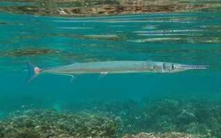 Ловля саргана в Черном море и других акваториях его обитания