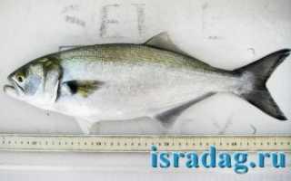 Ловля луфаря: что это за рыба и какие снасти применять при ее ловле
