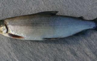 Рыба сиг: описание вида, особенности поведения, основные способы ловли