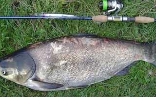 Ловля толстолобика весной: поведение рыбы, тактика ловли
