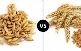 Пшеница и ячмень – дешевые и эффективные наживки