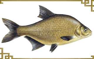 Рыба лещ: описание, образ жизни, отличие от других карповых рыб