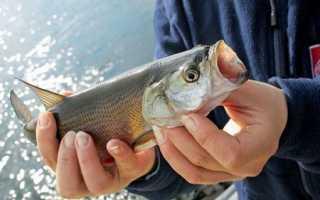 Ловля жереха на спиннинг: тонкости и секреты рыбалки