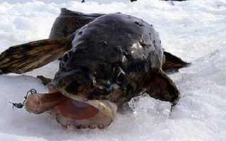 Зимняя ловля налима на стукалку: описание снасти и техники проводок