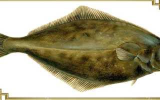 Рыба палтус – описание, места обитания и снасти для ловли