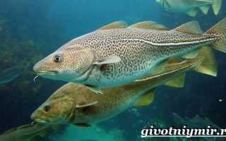 Рыбы тресковых пород: список названий, места обитания, нерест, фото