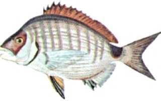 Морской карась: описание, поведение. Способы ловли ласкиря