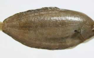 Морской язык: что за рыба, другое название, польза и вред, рецепты, рыбалка