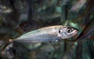 Ставрида черноморская: описание, образ жизни, ловля на самодур