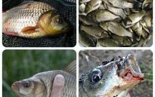 Ловля карася весной на поплавочную удочку: выбор снасти и места рыбалки