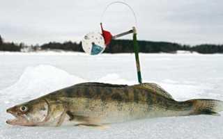 Ловля судака на зимние жерлицы: специфика снасти и оснащения