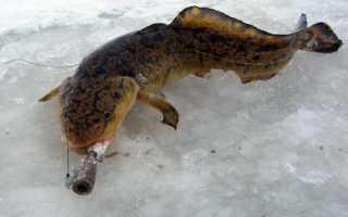 Ловля налима на мормышку зимой: выбор снасти и техника ловли