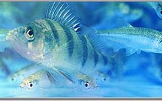 Живец для рыбалки: какой вид рыбы выбрать, как добывать, хранить и транспортировать