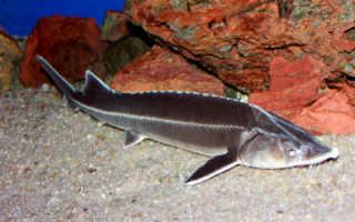 Рыба стерлядь: биологическая характеристика и правила ловли