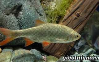Все о красноперке: биологическая характеристика, место обитания и рыбалка