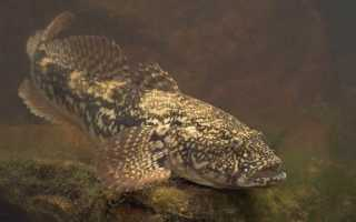 Рыба бычок: характеристики, особенности поведения, как поймать
