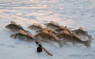 Ловля судака весной со льда и по открытой воде