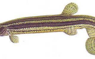 Рыба вьюн: особенности питания, образ жизни и способы ловли
