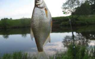 Рыба густера: особенности вида, ее повадки и способы ловли