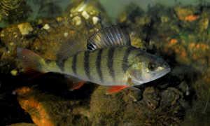 Речной окунь: среда обитания, питание, размножение