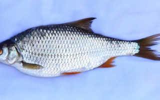 Рыба тарань: в чем ее отличие от воблы, каково сходство