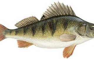 Окунь речной: характиристика вида, образ жизни и способы ловли