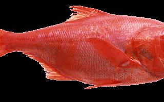 Морской окунь: особенности ловли, наживка, снасти
