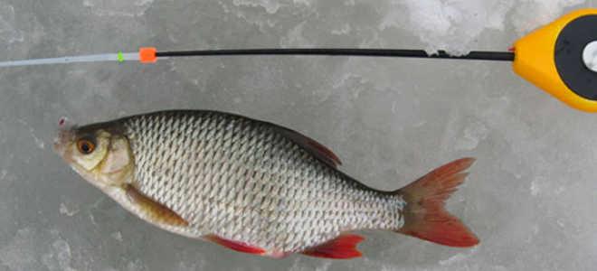 Ловля красноперки зимой: на каком водоеме и где искать, на что ловить